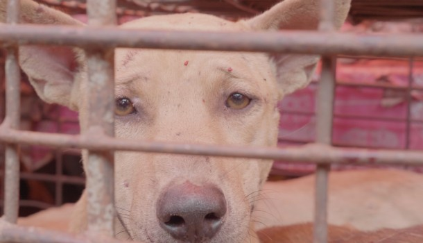Horrific animal abuse video reveals Tomohon markets defying Indonesia's pledge to end dog and cat meat trade