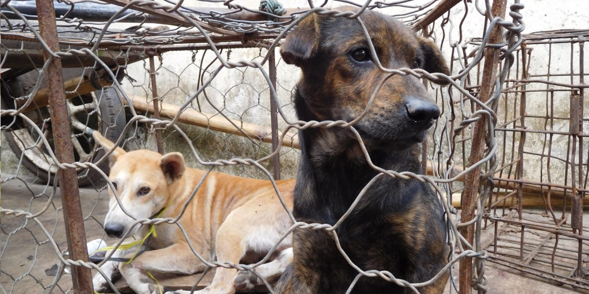 North Sulawesi governor says dogs being bludgeoned and torched for their meat is 'not cruel'