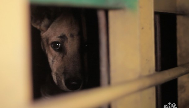 Horrific footage reveals large-scale trade in dogs for human consumption in Indonesia, defying the government's pledge to end the trade