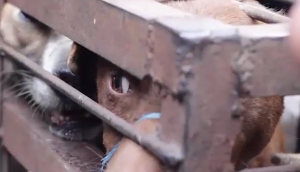 The Dog Meat Trade is cruel and dangerous, and it must stop!