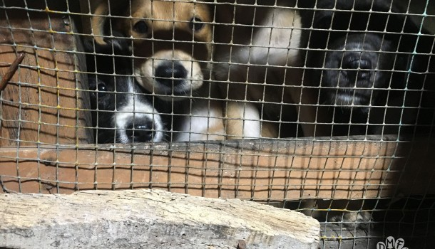 Dog Meat-Free Indonesia campaigners warn of deadly rabies transmission without enforced ban on brutal dog meat trade